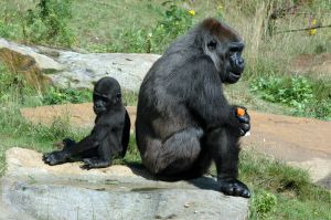 File:Gorillas-sitting-back-to-back-small.jpg